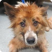 Adopt A Pet :: Amelia - Lincolnton, NC