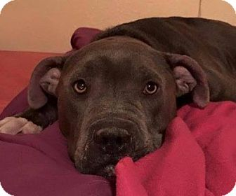 Pit Bull Terrier Mix Dog for adoption in Kansas City, Missouri - Kimono