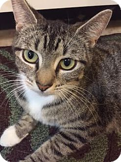 American Shorthair Cat for adoption in Jacksonville, Florida - Lilly