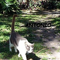 Adopt A Pet :: Antonio - Bonita Springs, FL