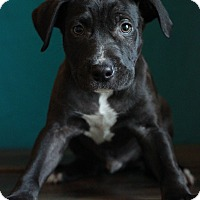 Adopt A Pet :: Sheldon II - Waldorf, MD