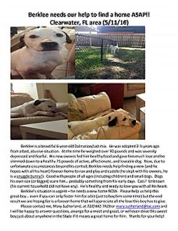 Dalmatian/Labrador Retriever Mix Dog for adoption in Palm Harbor, Florida - Berklee (male dalmation/lab mix)