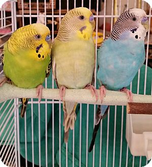 Budgie for adoption in Schenectady, New York - Sunshine, Baby, Sparky