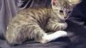 Domestic Shorthair Kitten for adoption in Mission Viejo, California - Rose
