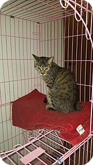 Domestic Shorthair Cat for adoption in Lacey, Washington - Kyra