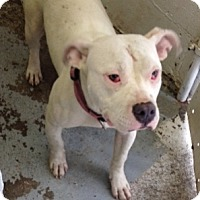 American Pit Bull Terrier Mix Dog for adoption in Speedway, Indiana - SHEA (Bonded to Mom Rio)