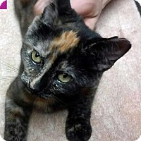 Domestic Shorthair Kitten for adoption in Irwin, Pennsylvania - Julie