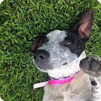 Labrador Retriever/Dalmatian Mix Dog for adoption in Chicago, Illinois - Tweety