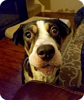 Shepherd (Unknown Type)/Beagle Mix Dog for adoption in Davenport, Iowa - Maribelle~ADOPTED!