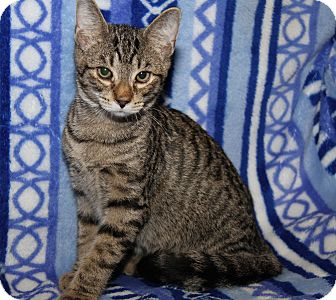 Domestic Shorthair Cat for adoption in Marietta, Ohio - Peyton (Purrty Girl's Orphan)