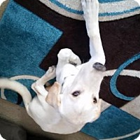 Adopt A Pet :: Quito - Broomfield, CO