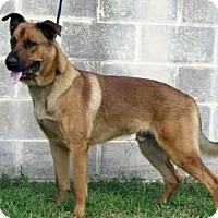 Belgian Malinois Dog for adoption in Lake Jackson, Texas - Niklaus