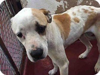 Labrador Retriever/Boxer Mix Dog for adoption in Atlanta, Georgia - DANCER