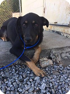 Shepherd (Unknown Type) Mix Dog for adoption in New York, New York - Lou
