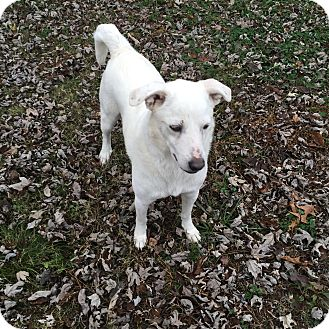 Jack Russell Terrier/Eskimo Spitz Mix Dog for adoption in Melbourne, Arkansas - Caspter