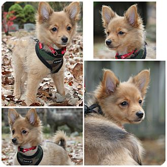 Chihuahua/Pomeranian Mix Puppy for adoption in Forked River, New Jersey - Coyote