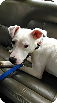 Pit Bull Terrier/Boxer Mix Dog for adoption in Fort Wayne, Indiana - Jax