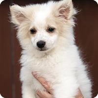 Adopt A Pet :: Ivan - San Diego, CA