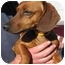 Photo 2 - Dachshund Dog for adoption in Garden Grove, California - QUINCY