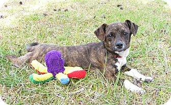 Dachshund/Terrier (Unknown Type, Small) Mix Dog for adoption in Mocksville, North Carolina - Irish