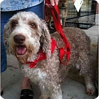 Adopt A Pet :: Waffles - Arlington, TX
