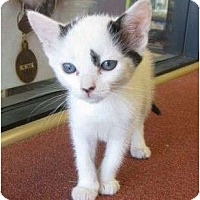 Adopt A Pet :: Uma - Los Alamitos, CA