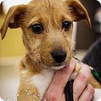 Adopt A Pet :: Nala - Minneapolis, MN