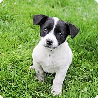 Adopt A Pet :: Calvin - New Oxford, PA
