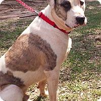 Adopt A Pet :: Koda - Lawrenceville, GA