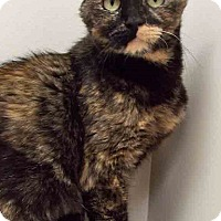 Domestic Shorthair Cat for adoption in Plainfield, Illinois - Tina