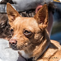 Chihuahua Mix Dog for adoption in San Marcos, California - Rosie