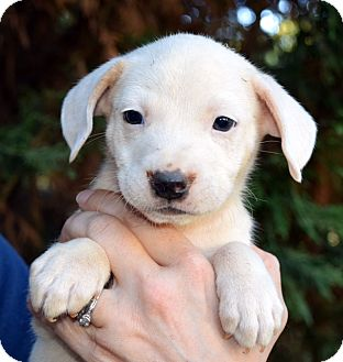 Labrador Retriever/Retriever (Unknown Type) Mix Puppy for adoption in Hicksville, New York - Tigger