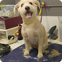 Cairn Terrier Dog for adoption in Big Spring, Texas - Charm
