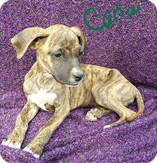 Boxer/Labrador Retriever Mix Puppy for adoption in Albany, North Carolina - Carla