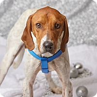 English (Redtick) Coonhound Mix Dog for adoption in Harrisonburg, Virginia - Ricky