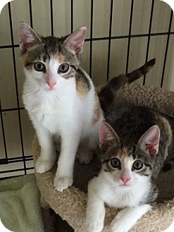 Domestic Shorthair Kitten for adoption in West Palm Beach, Florida - Maggie (kitten)