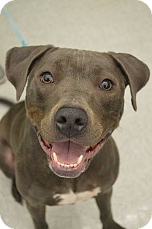 Pit Bull Terrier/American Staffordshire Terrier Mix Dog for adoption in Toledo, Ohio - Oscar