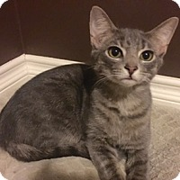 Adopt A Pet :: Ron Weasley - Walled Lake, MI