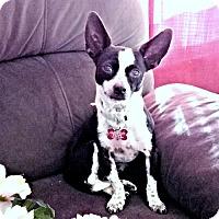 Adopt A Pet :: Glory - Fredericksburg, VA