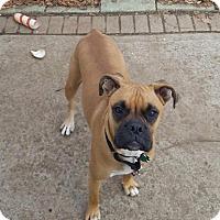Adopt A Pet :: Mickey - Goldens Bridge, NY