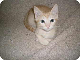Domestic Shorthair Kitten for adoption in Kirkwood, Delaware - Dande