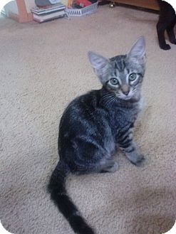 Bengal Cat for adoption in Lantana, Florida - Fleur