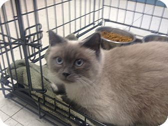 Siamese Cat for adoption in Greenville, South Carolina - Luna