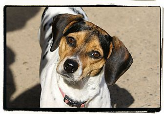 Beagle Mix Dog for adoption in Elmwood Park, New Jersey - Dixie