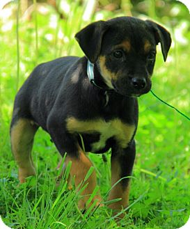 Jack Russell German Shepherd Lab Mix