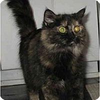 Adopt A Pet :: Junebug kitty - Cincinnati, OH