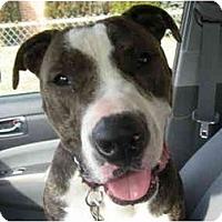 Adopt A Pet :: Dozer - Reisterstown, MD
