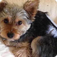 Adopt A Pet :: Benji - Sinking Spring, PA