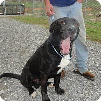Adopt A Pet :: Mobley - Springfield, TN