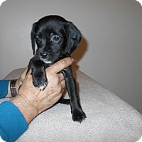Adopt A Pet :: Wilkes Puppy #9 -Adopted! - Kannapolis, NC